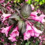 Вейгела цветущая Фолис Пурпуреис (Foliis Purpureis)