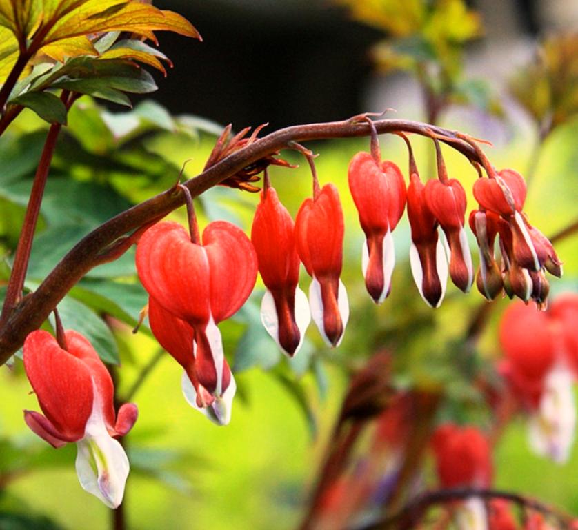 Дицентра - ботаническое описание