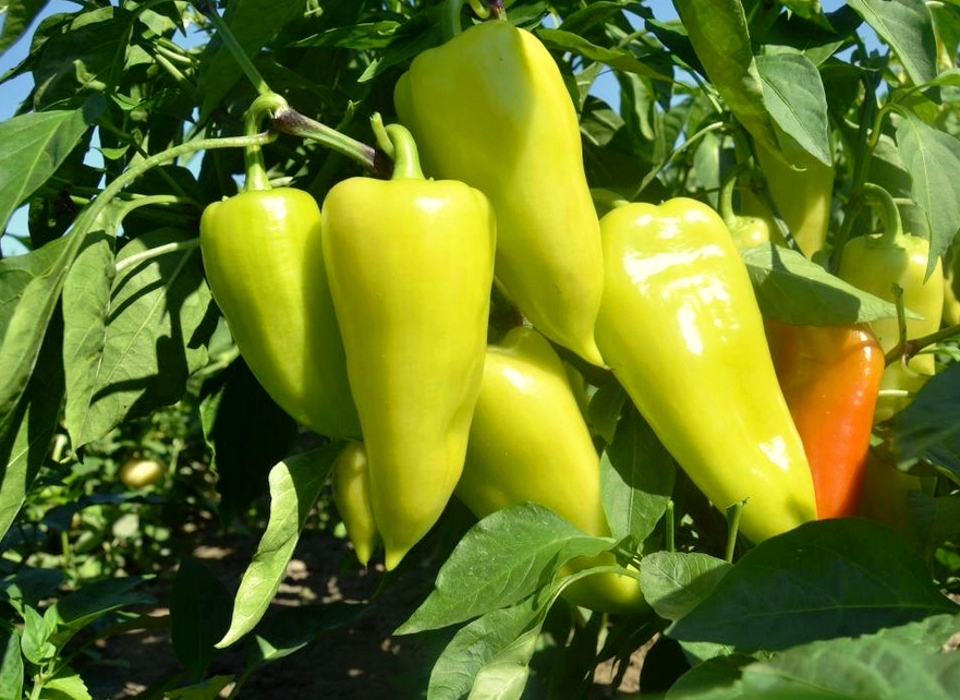 Перец - сбор урожая