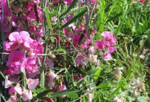 как прорастить душистый горошек из семян