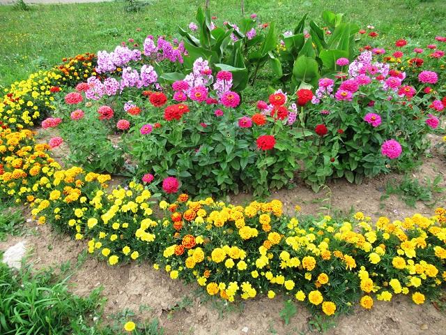 цветы бархатцы для клумбы