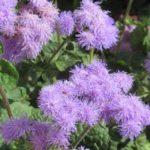 цветок агератум