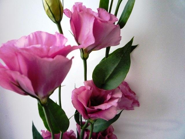 цветы эустома посадка