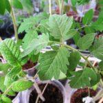 как вырастить крепкую рассаду томатов