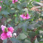 Хелоне Косая (Chelone obliqua)