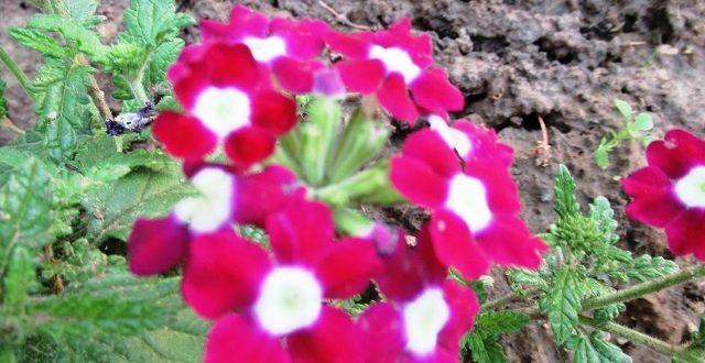 вербена семенами на рассаду