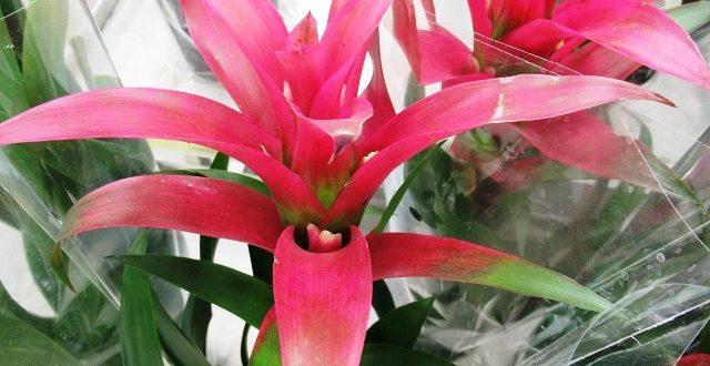 цветок гузмания уход