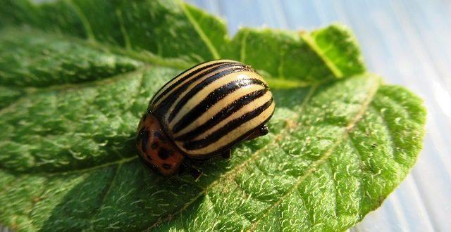 препараты от колорадского жука
