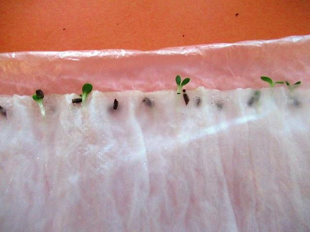 посев эхинацеи семенами