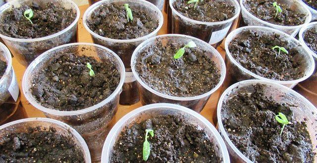 когда сажать рассаду помидор в 2020 г