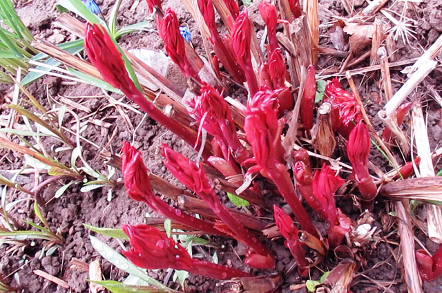 уход за пионами весной