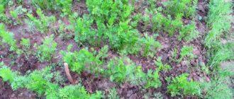 сроки посадки моркови