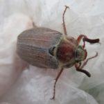 какой вред приносит майский жук