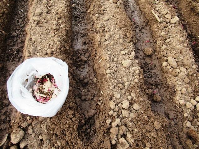 на сколько замачивать семена свеклы