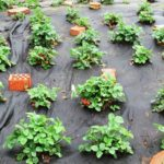 обработка клубники от вредителей