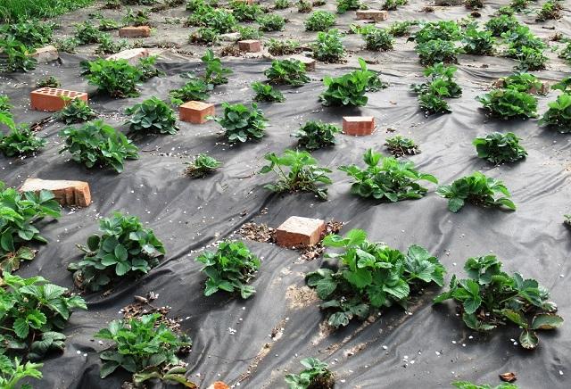 клубника уход в июле после сбора урожая