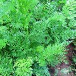 ботва моркови полезные свойства