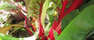 листовая свекла мангольд