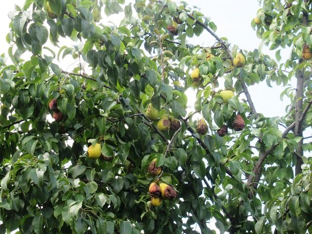 плодовая гниль монилиоз