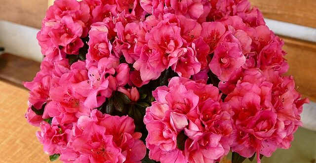 цветок азалия уход