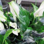 женский цветок спатифиллум