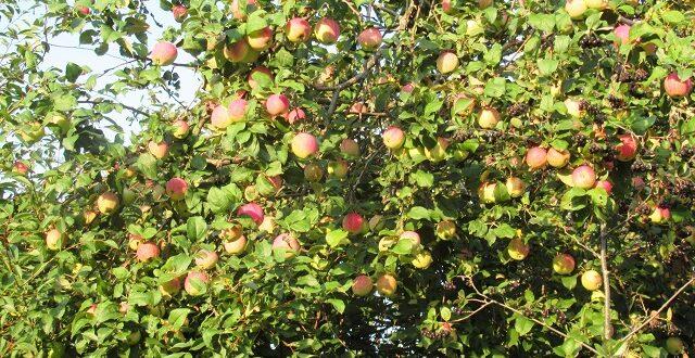соседи яблони