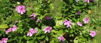 катарантус выращивание и уход