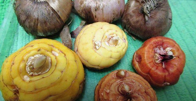 гладиолус когда доставать луковицы
