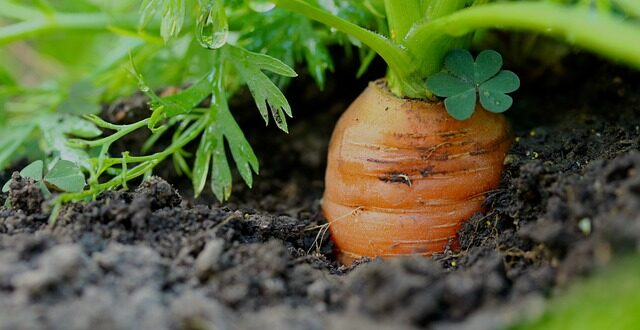 обработка моркови керосином