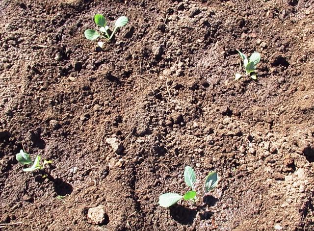 сроки посадки капусты в грунт