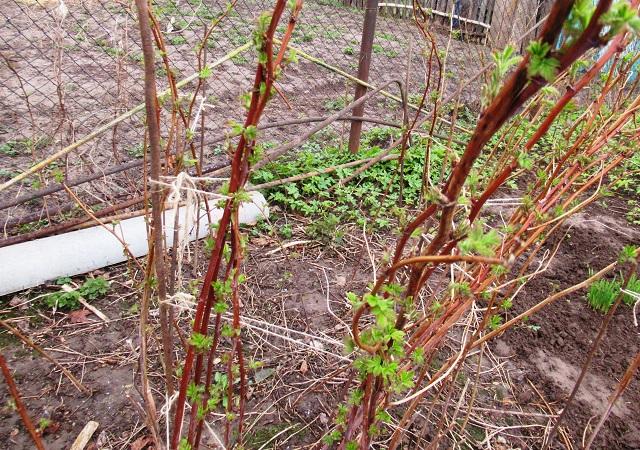 малина подкормка весной и летом