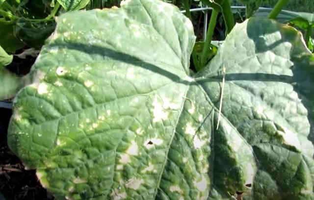 Рецепты от пожелтения листьев на огурцах