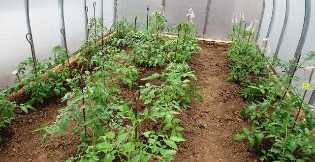чем обработать томаты для завязи
