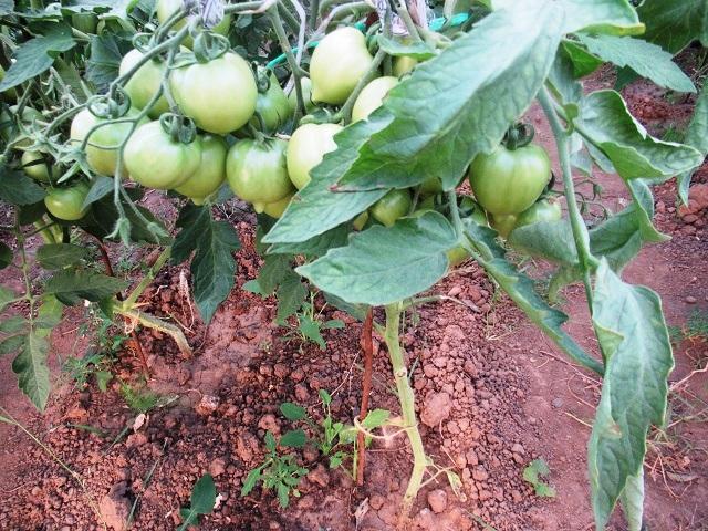 нужны ли помидорам листья