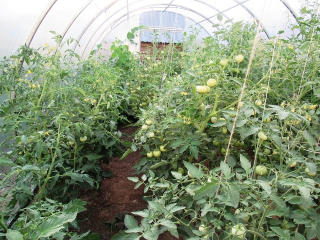 как обрывать листья у помидор