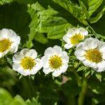 клубника в период цветения полив и подкормка