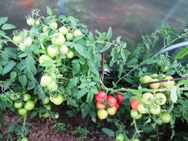 плоды томата Лимеренс