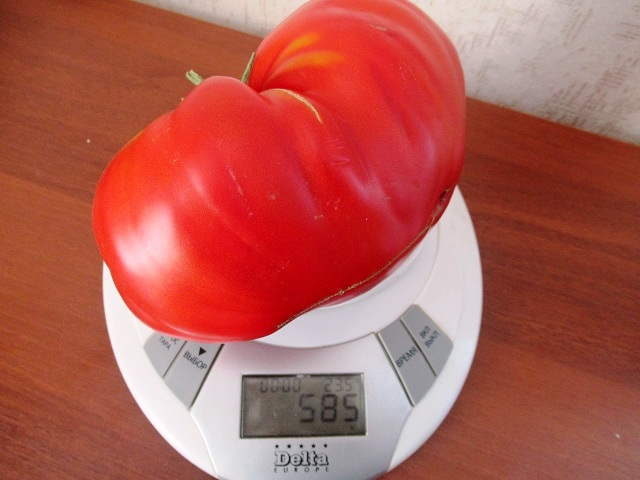 томат данко
