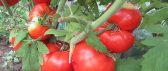 поливают ли помидоры в августе в теплице