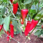 подкормка перцев в августе