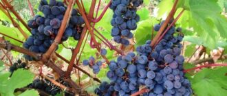 подкормка винограда в августе