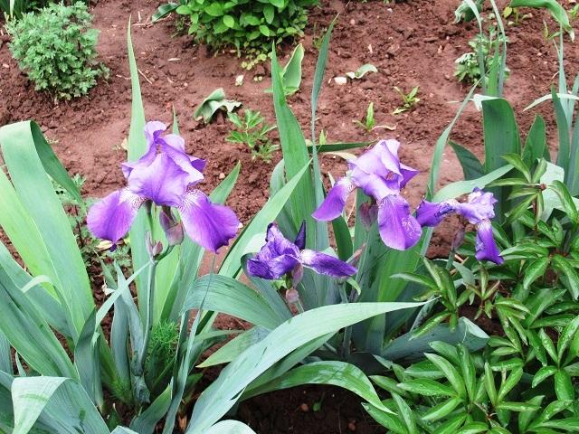 пересадка ирисов после цветения