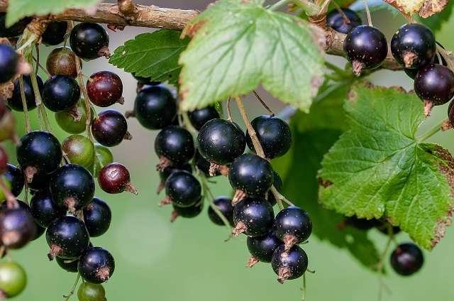 Обработка смородины от мучнистой росы