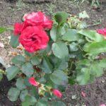 удобрение для роз в сентябре