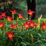 лилейники уход и выращивание