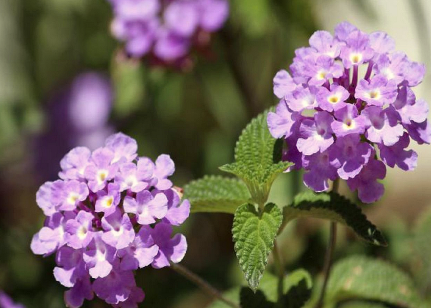 Лантана цветок фото