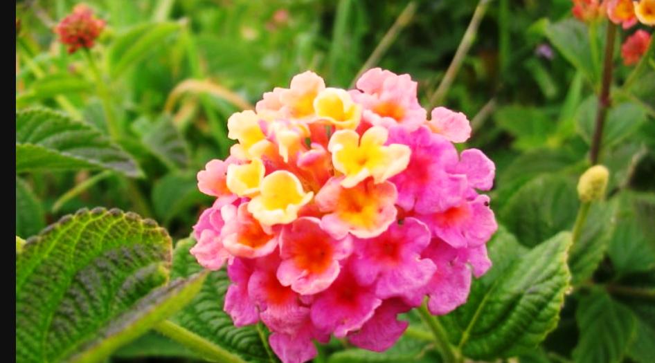 Лантана цветок описание