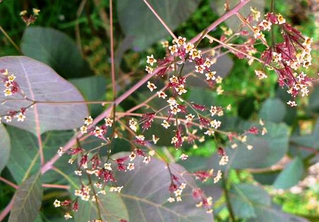 Цветы скумпии - фото