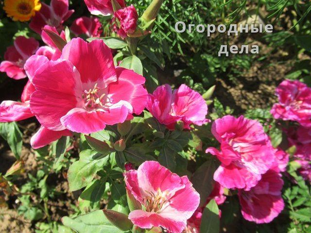 Годеция фото цветов