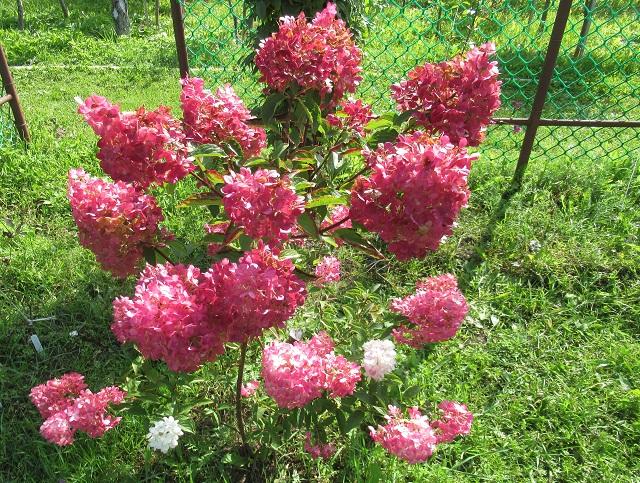 где посадить гортензию в саду